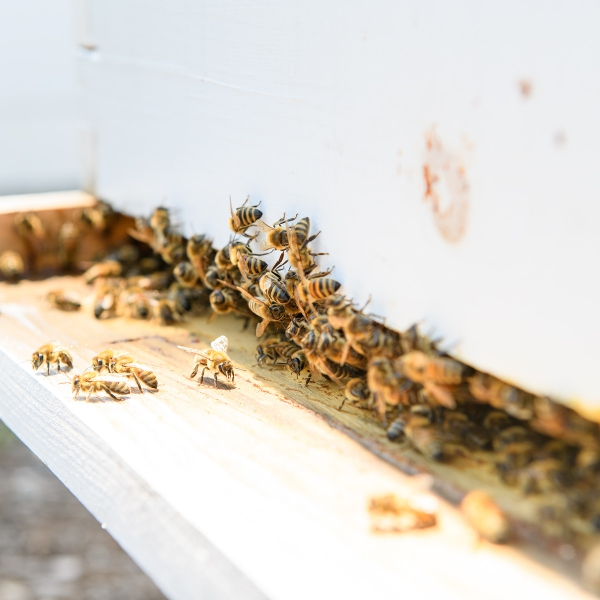 Honey Bees entering and exiting bee hive