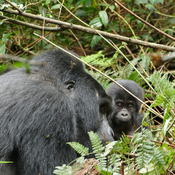 Silverback Gorilla with baby in Uganda