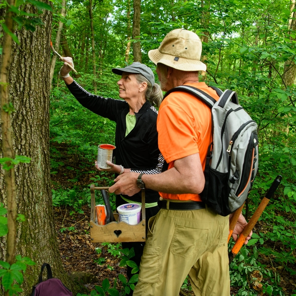 Ernie Werstler and Jane Huston paint blazes as well as use chainsaws, brushwhackers and limb loppers to trim limbs, remove fallen trees, cut back mountain laurel and wild blueberry bushes along the Mid State Trail in Central Pennsylvania.